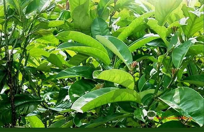 苦丁茶产自哪里,苦丁茶有什么功效?