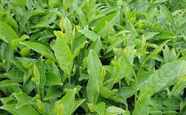 黄金桂是什么茶?黄金桂和铁观音的区别?