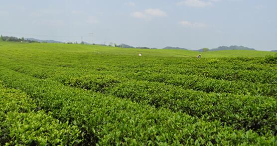 一芽一叶的精致细品绿茶新贵湄潭翠芽