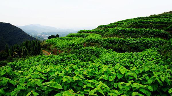 桑叶茶的制作具体方法有那些?
