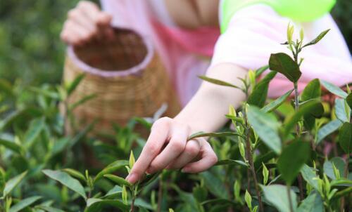 采花毛尖的八大茶叶知识