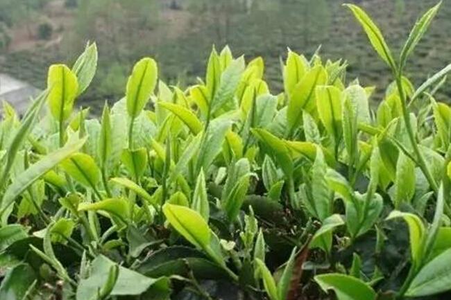 传统名茶之有关于古劳茶的概述