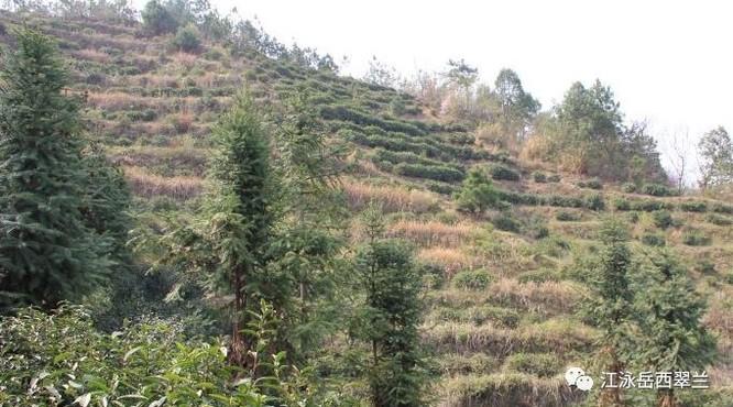 茶山海拔高度对岳西翠兰茶的影响