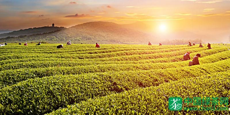 茶叶选购:贵州贵定云雾茶多少钱一斤