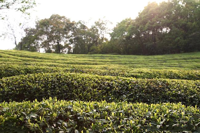 科普:敬亭绿雪的知识介绍及制茶工艺