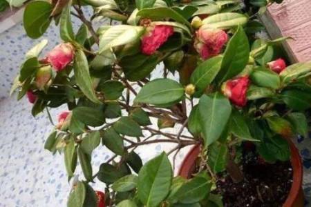 茶花掉叶子的补救方法