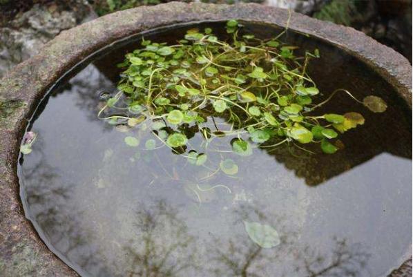 广东大叶青制造工序  黄茶制作的过程