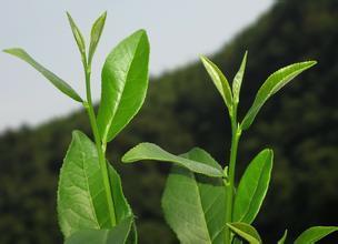 喝绿茶的好处和坏处介绍