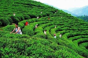 中国著名绿茶都有哪些