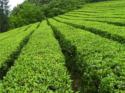 西湖龙井茶标志如何辨别