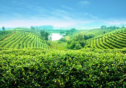 冬季养生之黑茶作用与功效
