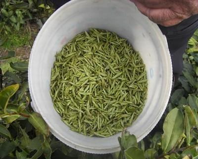 哪些茶叶是属于绿茶?绿茶种类