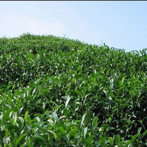 什么茶叶算绿茶呢?论绿茶种类的划分
