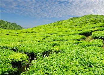 哪些茶是绿茶