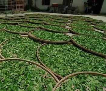 恩施玉露茶是国内仅存的蒸汽杀青茶
