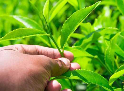 威海绿茶品牌