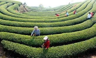 传统普洱茶的知识和文化修养
