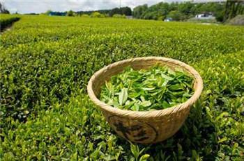 解析信阳毛尖是什么茶