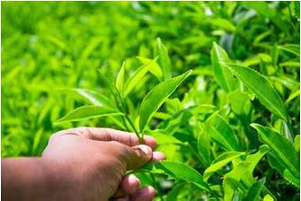 绿茶减肥法 让女性变瘦腰平腹美人