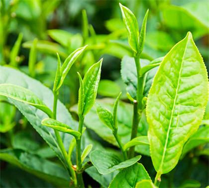 日照绿茶叶最新价格表