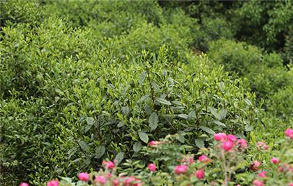 庐山云雾茶文化
