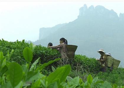 庐山云雾茶的特点有哪些了?