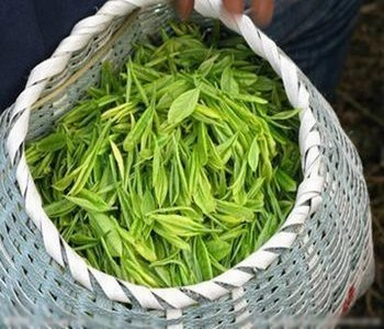 庐山云雾茶的生长环境是很特别的