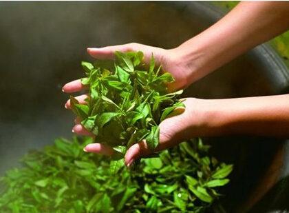 白牡丹白茶的制作工艺