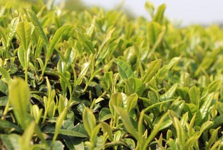 湖南黑茶是什么茶