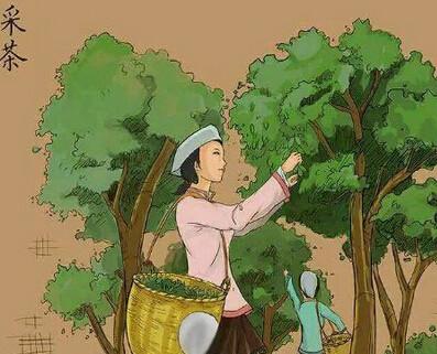 云南同升普洱茶的图片为你讲解制茶过程