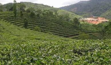 普洱茶产地在哪里?