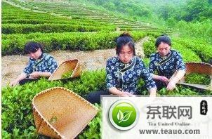 山东日照绿茶香飘老茶庄