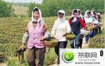 山东:日照绿茶喜获丰收