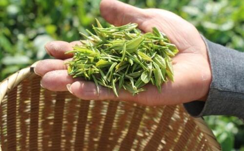 信阳毛尖茶有哪些品种?