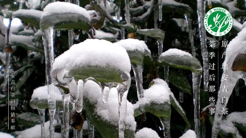 科普:安吉白茶茶园冻害预防与管理