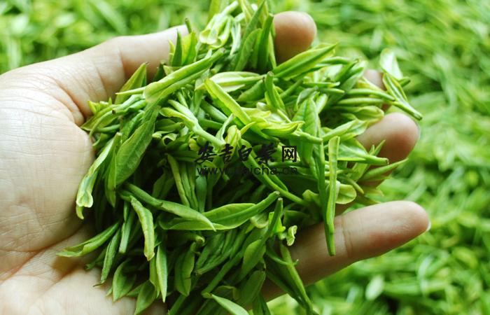 安吉白茶的品质特征和生理机制