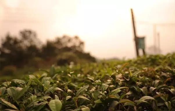 六堡茶的树种有什么特点?好在哪里?