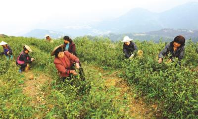 龙湖鸡冠山有了首个白茶园