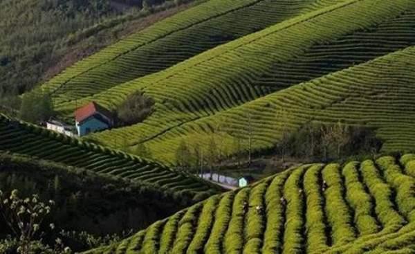 莫干黄芽的茶文化历史和品质特点