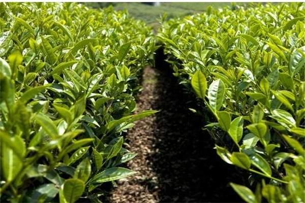 如何分辨春茶、夏茶和秋茶?