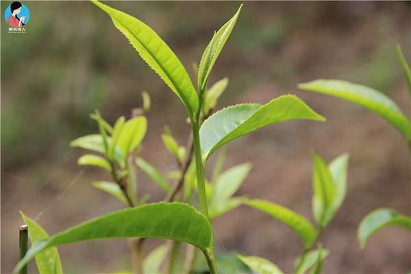 品评普洱茶的滋味有哪些技巧?