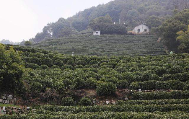 普洱茶古树真有那么神奇吗?