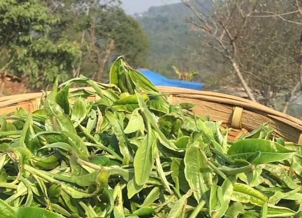权威发布:2018普洱茶春茶价格全新推出