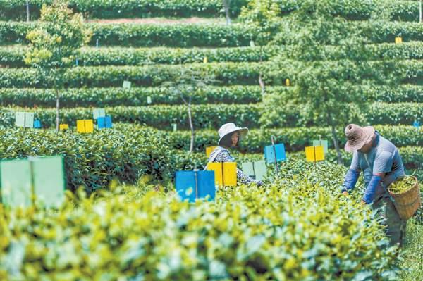 提升普洱市茶文化,打造普洱茶大品牌