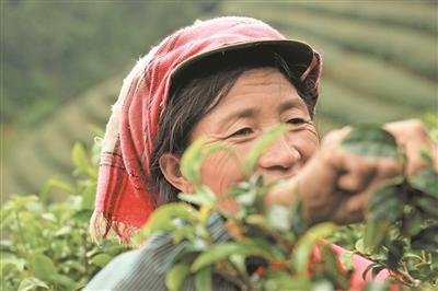 """普洱茶企挖掘""""绿色金矿"""",让茶叶品牌真正叫得响"""