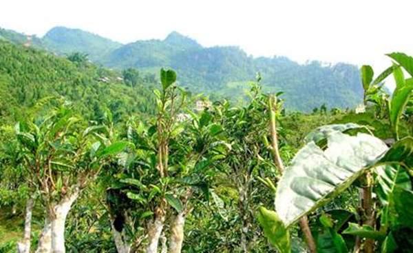 古树茶的特点和现存的古树普洱茶区