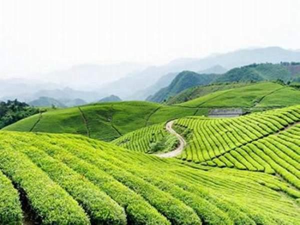 南岳云雾茶升级工艺制成半叶?有什么样的特点?