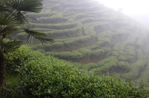 黄山毛峰的八大茶叶知识