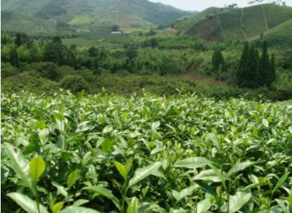 白茶树怎么养白茶主要包括哪些树种?