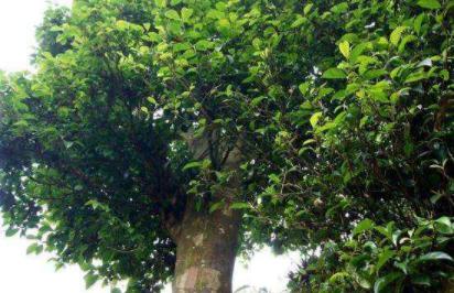 什么茶树品种耐寒最适宜茶树生长的温度是在什么范围内?